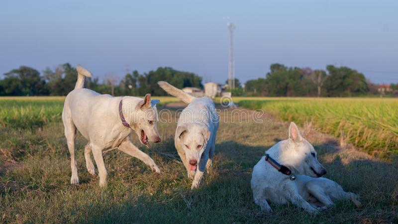 Three white dog relax in nature area. stock photo