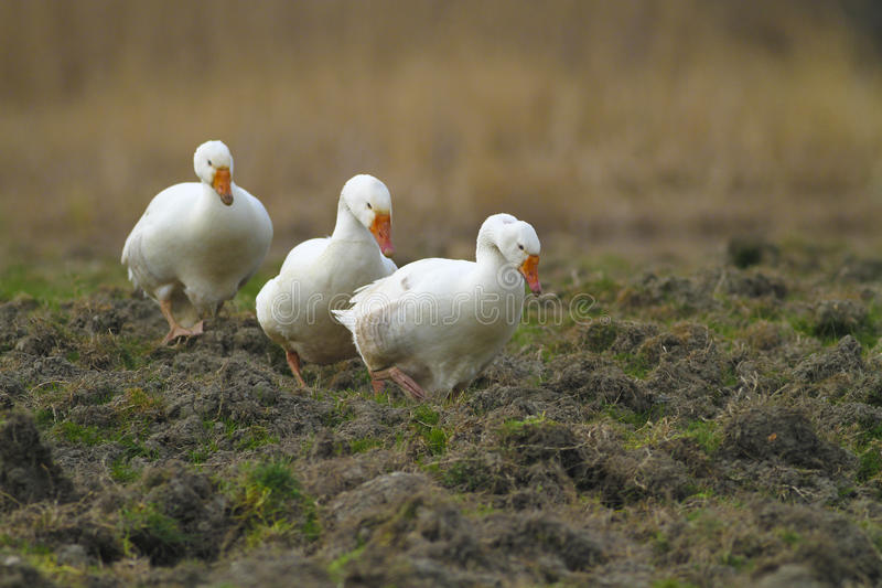 Three white domestic geese. Flock of white domestic geese walking on meadow royalty free stock photography