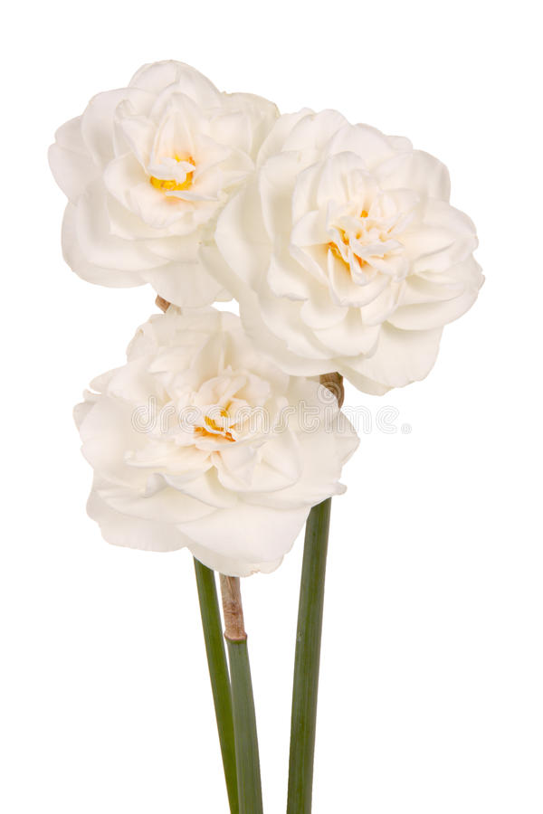 Download Three White Double Daffodils Stock Image - Image of close, blooming: 19435339