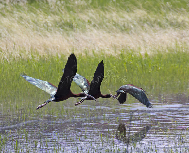 Three White-faced Ibis Birds Flying Across Pond. Three birds white-faced Ibis (Plegadis chihi) flying across a pond in spring stock image