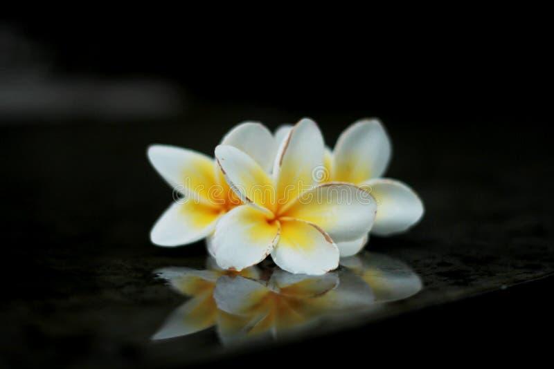 Three white Flower royalty free stock image