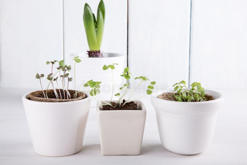 Small green sprouts of basil and mint stock photography