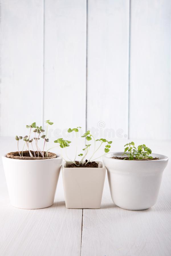 Three white flowerpots with small green sprouts of basil and mint stock images