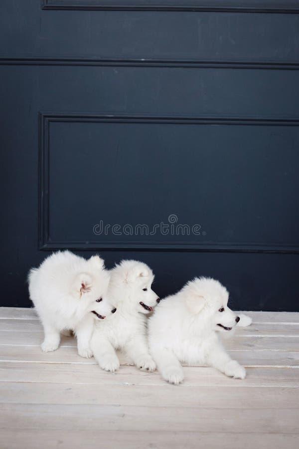 Three white samoyed puppies stock images