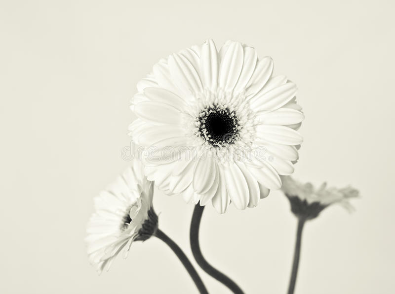 Three White Gerberas. In a high key image royalty free stock photo