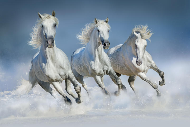 Three white horse run in snow. Group of beautiful arabian horses run gallop in snow winter field stock photography