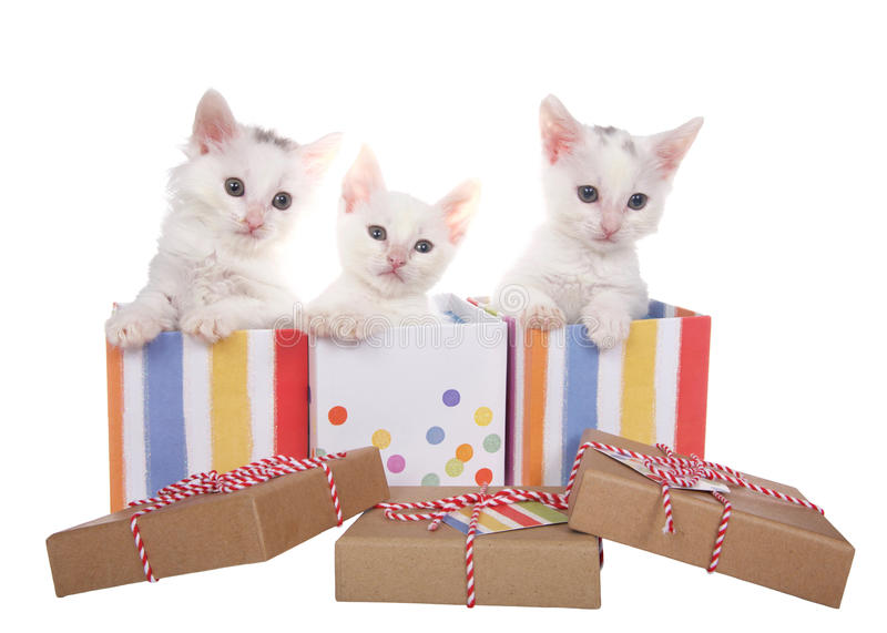 Three white kittens popping out of colorful present boxes. Three fuzzy white kittens sitting in decorative present boxes with polka dots and stripes, soft pastel stock image