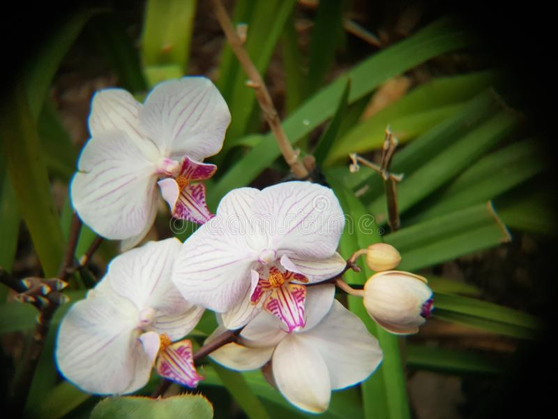 three white orchid flowers stock photography