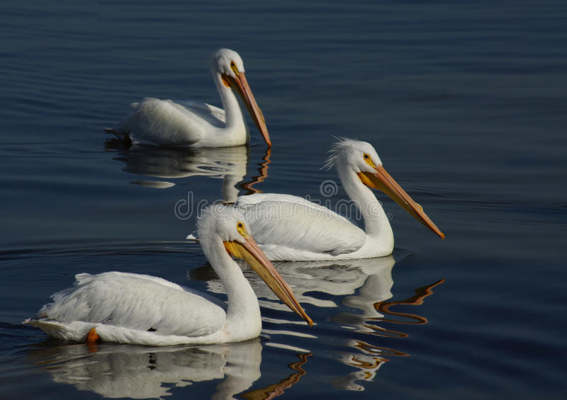 Three White Pelicans Royalty Free Stock Photo