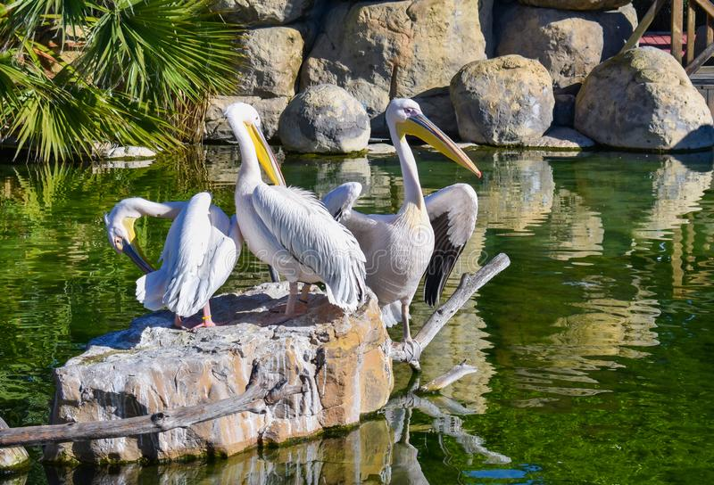 Three white pelicans are resting on a rock in a green water pond. A pelican is opened black and white wings to dry them. The. Pelicans are enjoying a sunny day royalty free stock photo
