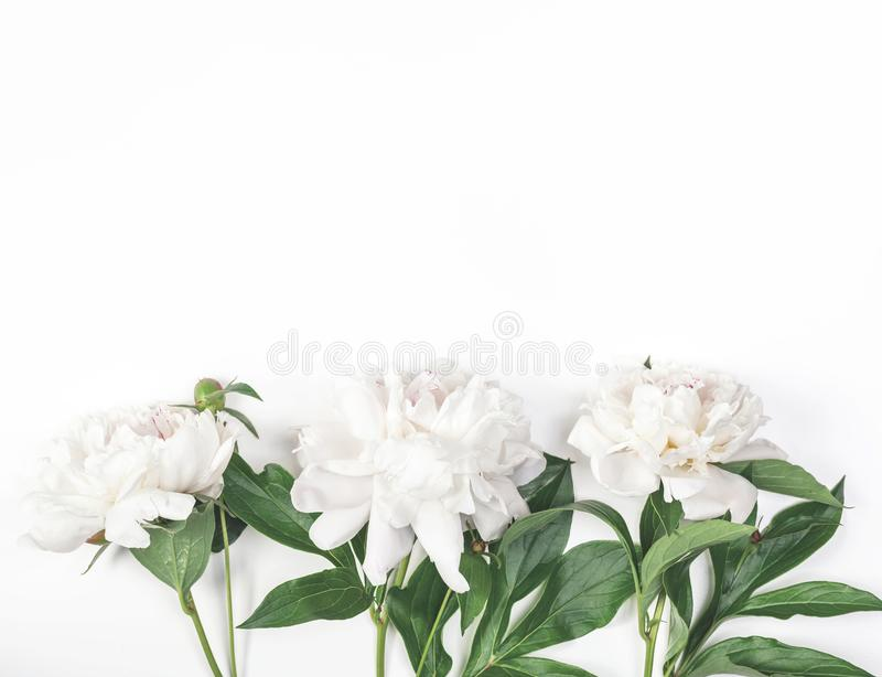 Three white peony flowers on white background. Top view. Flat lay. stock photography