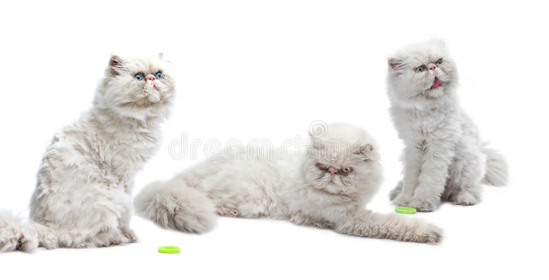 Three white Persian cats. Close up on a white background stock photo