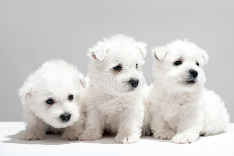 Three white puppies resting together stock image