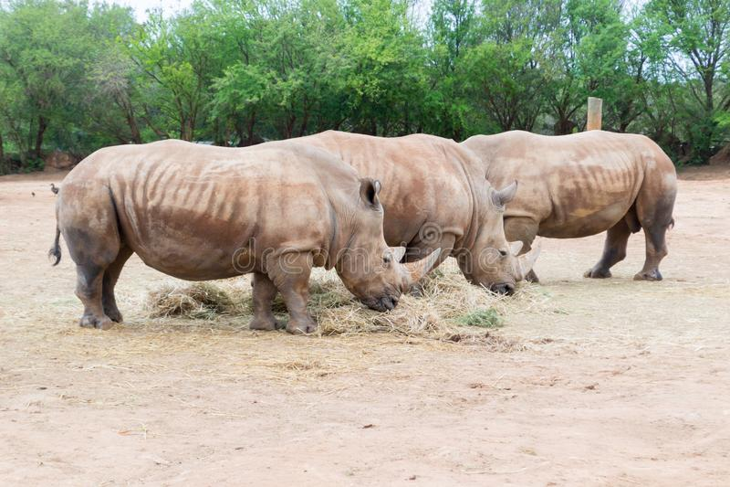 Three White Rhinoceros stock photo