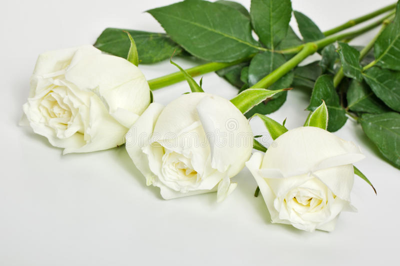 Three white roses royalty free stock photo