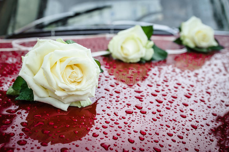 Three white roses on claret car. Wedding car decoration, set of 3 white roses, claret or red car with visible raindrops on body of the car royalty free stock images