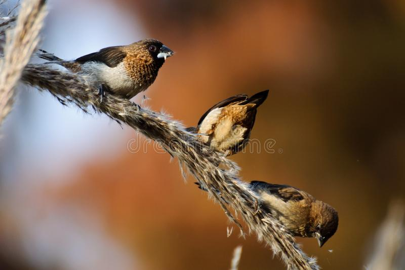 Three White rumped munias. There white rumped munias are roosting on the reed, pecking the tiny seeds of the reed in autumn. The birds with brown and coffee stock image