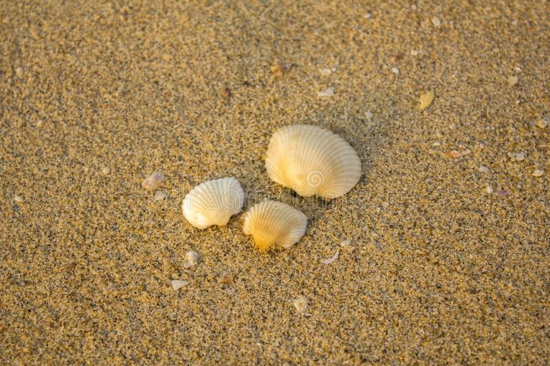 Three white seashells close-up on a blurred background of yellow sand with fragments of other shells royalty free stock photo