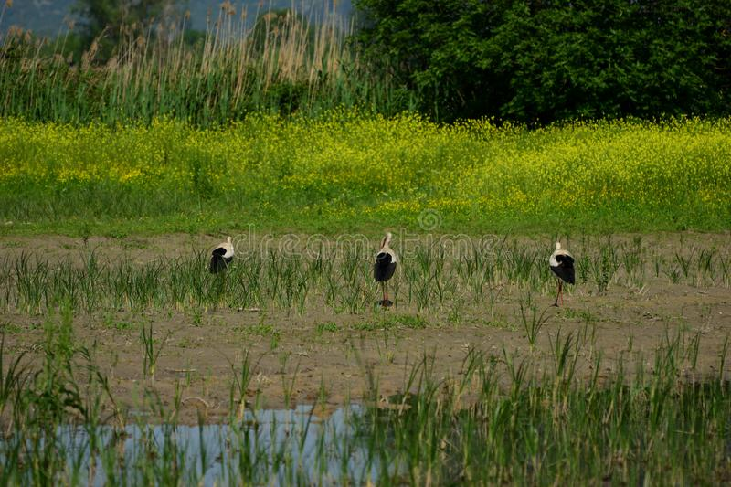 Three white storks at Hutovo Blato bird reserve. Hutovo Blato is a nature reserve and bird reserve, located in south part of Bosnia and Herzegovina. It is also royalty free stock photos