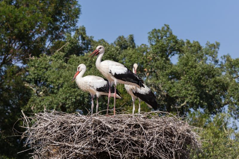White Storks in the nest royalty free stock images