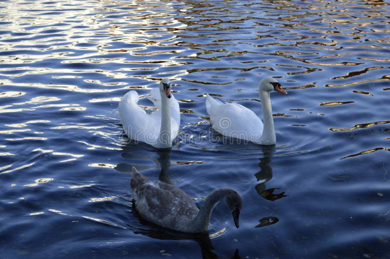 white swans on a lake in the park. stock image