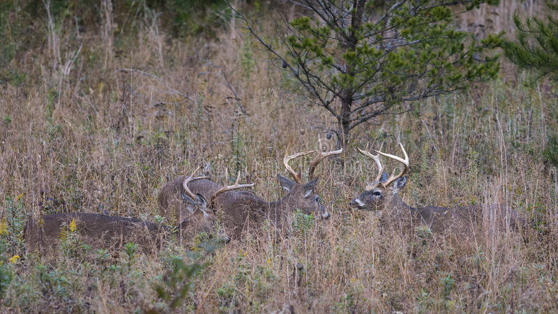 Three White-tailed Bucks in the Smoky Mountains. Three young white-tailed bucks facing off and asserting dominance in the grasslands of Cade's Cove, Tennessee royalty free stock image