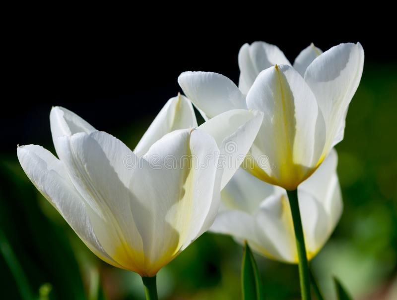 Three white tulips with yellow veins and green leaves stock images