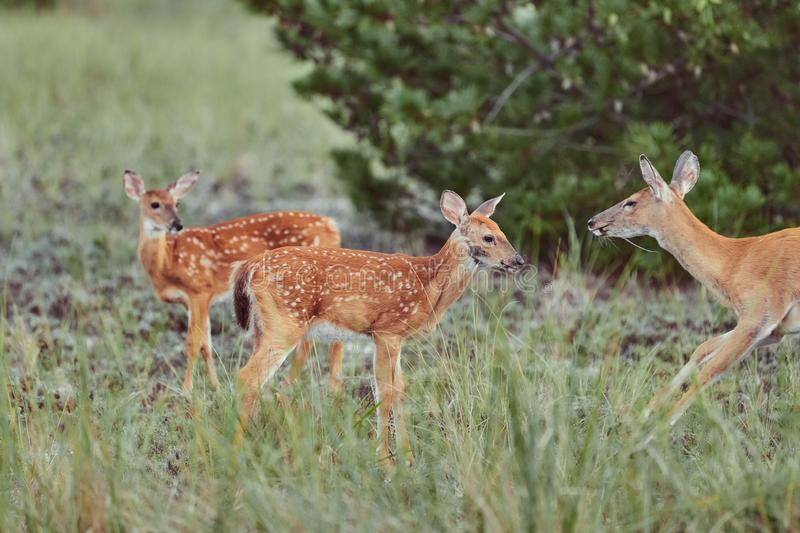 Three Wild deers outdoors in forest eating grass fearless beautiful and cute stock photos