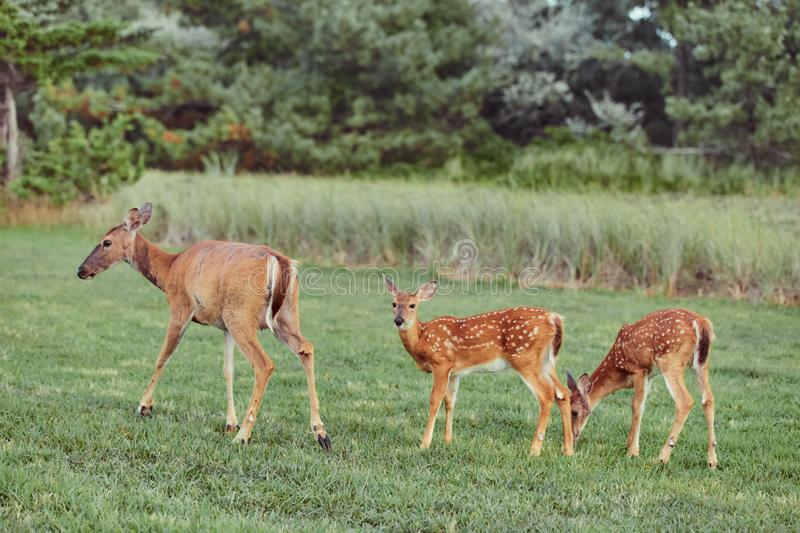 Three Wild deers outdoors in forest eating grass fearless beautiful and cute stock photography