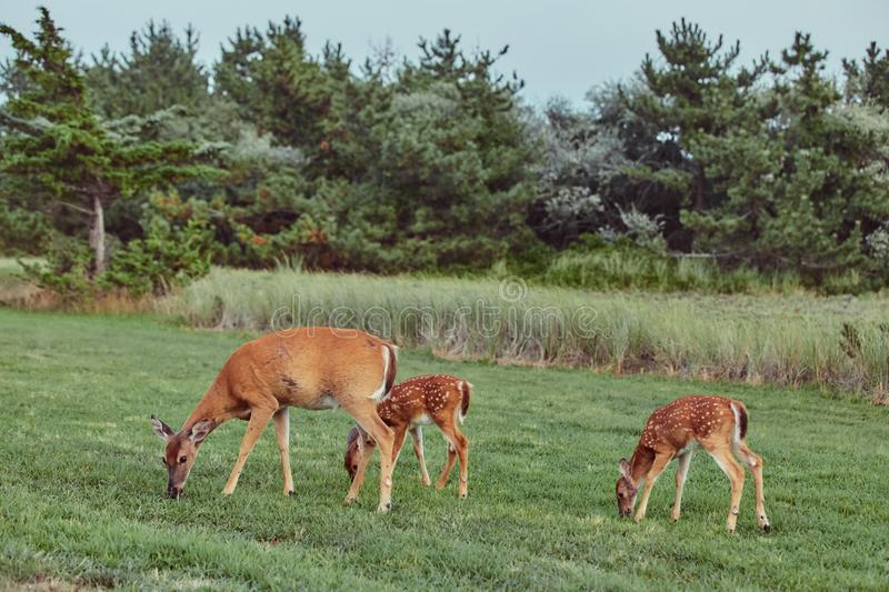 Three Wild deers outdoors in forest eating grass fearless beautiful and cute stock images