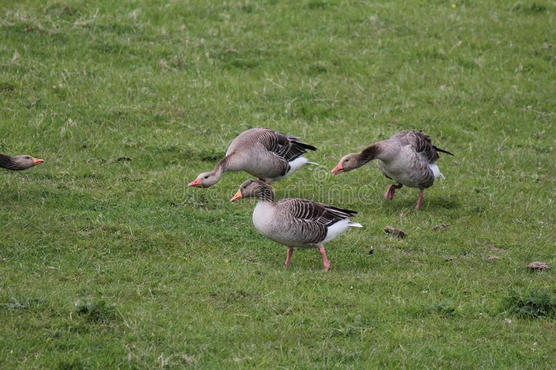 Three geese grazing in the green meadow stock photo