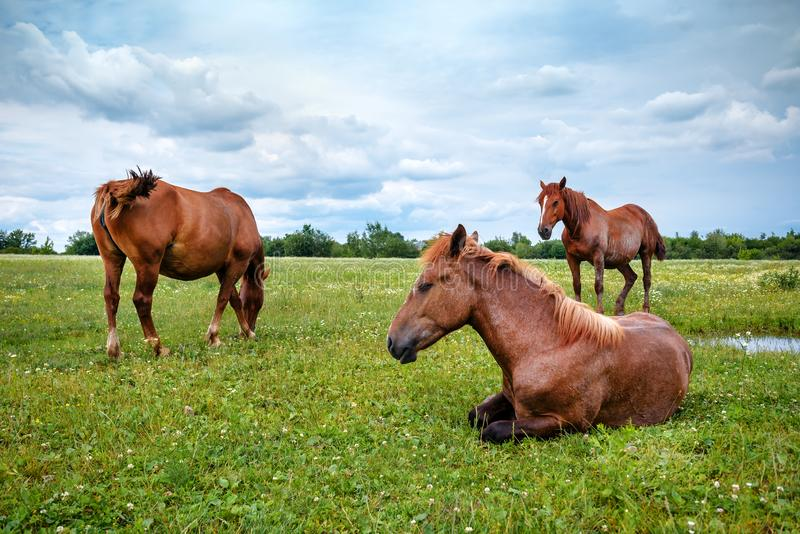 Three wild horses in the pasture stock photography
