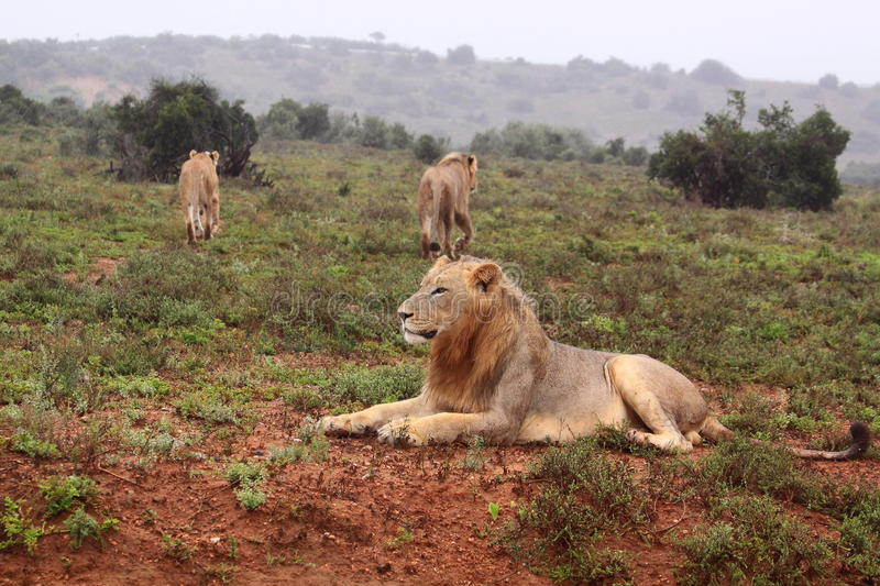 Three wild lions. In the rain in the addo elephant national park in south africa stock photo