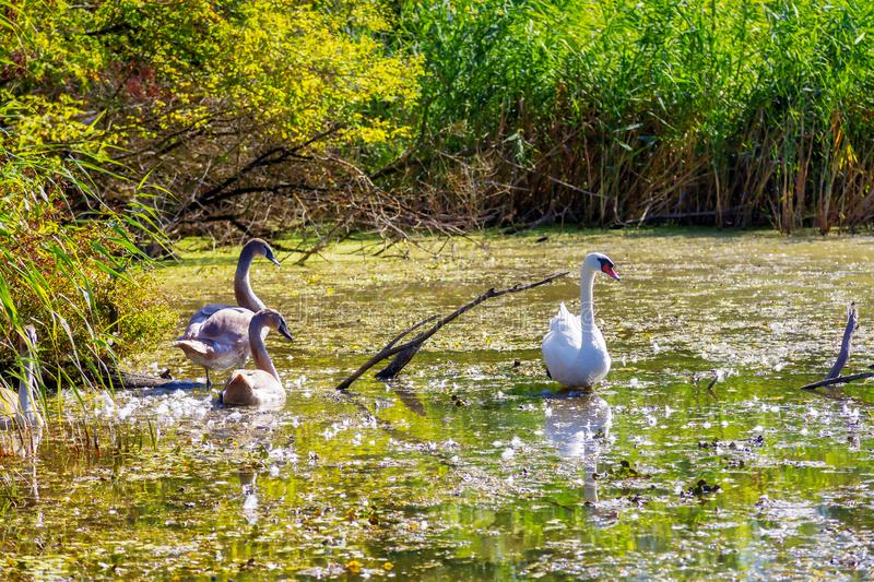 Three Wild Swans. Wild swans in the Imperial Pond nature reserve. Carska Bara, Vojvodina, Serbia. Image stock photo