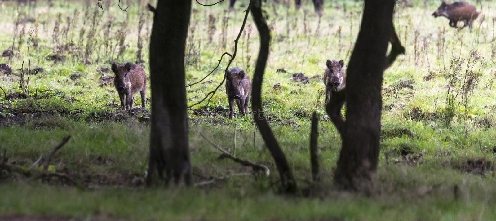 Three wildboar animal in the netherlands in the forest royalty free stock photos
