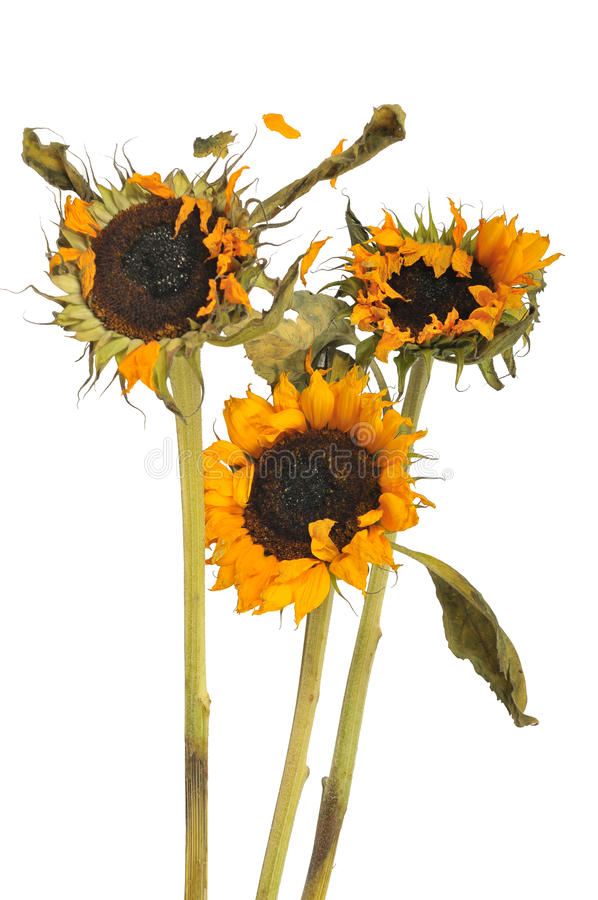 Three wilted sunflowers. On white background stock photography