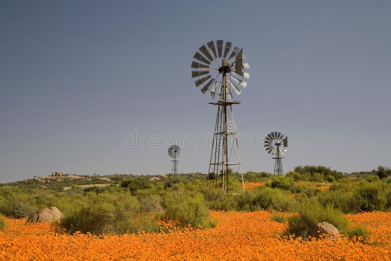 Windmills among a carpet of wild flowers in Namaqualand royalty free stock photography