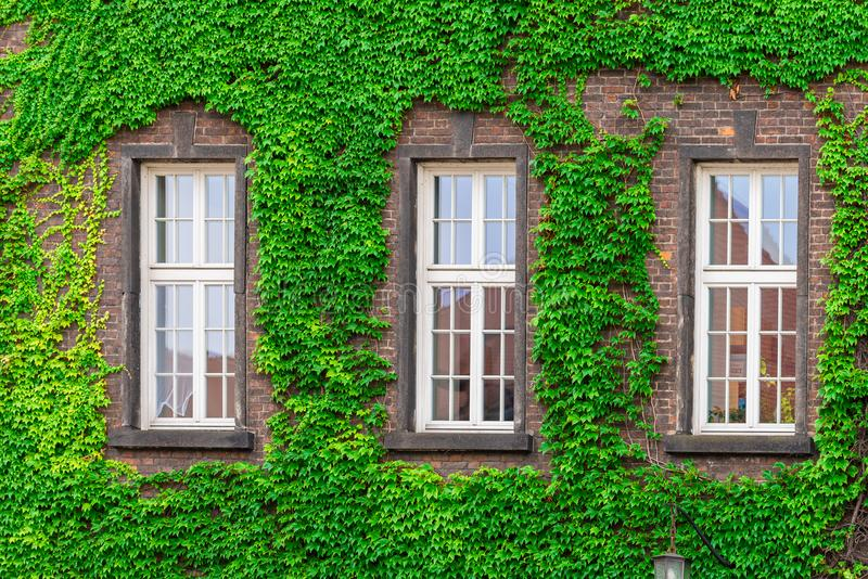 Three windows of a brick building surrounded. By a green vine royalty free stock photo
