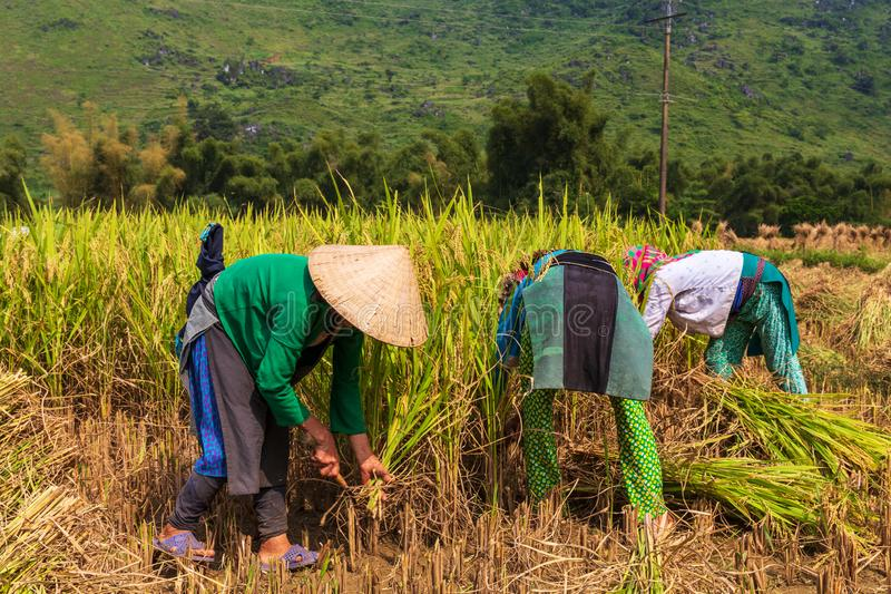 Farmers unrecognizable harvesting rice in Ha Giang Province, Quan Ba District. Northern Vietnam royalty free stock image