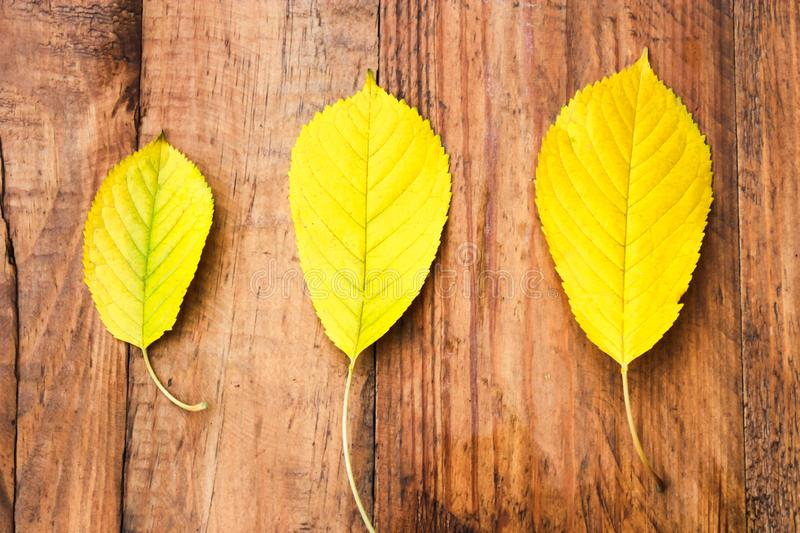 Three yellow autumn leaves on wooden background. royalty free stock image