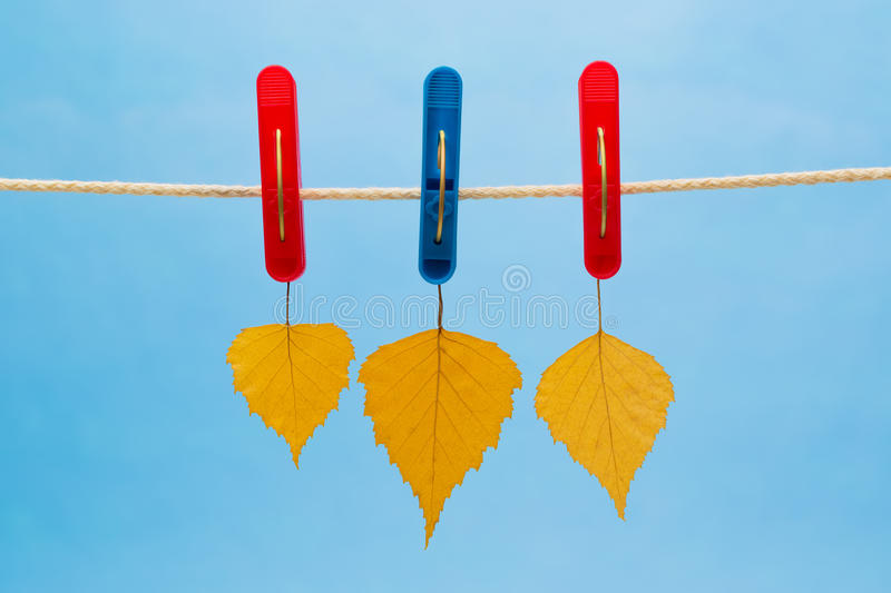 Three Yellow Birch Leaf Suspended From A Clothesline Using Clothespins stock photos