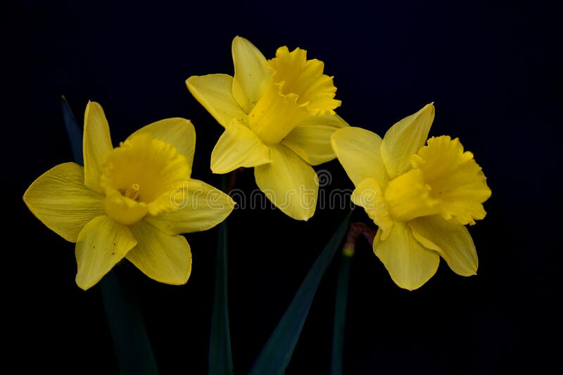 Three yellow daffodil flowers on black background stock image