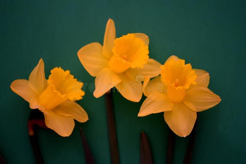 Three yellow daffodil flowers on green background royalty free stock image
