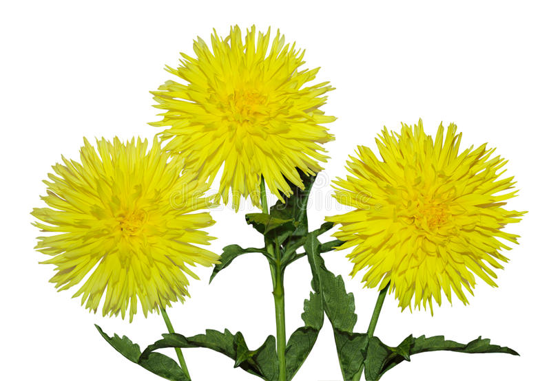 Download Three Yellow Dahlia stock photo. Image of green, object - 22070290