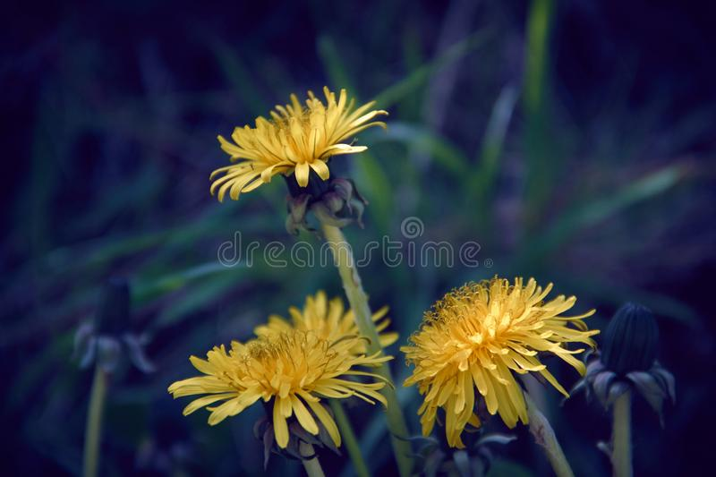 Three yellow dandelion flowers with diffused green grass background. Plant bloom blossom taraxacum spring herb closeup petal fresh herbal leaf flora nature royalty free stock image