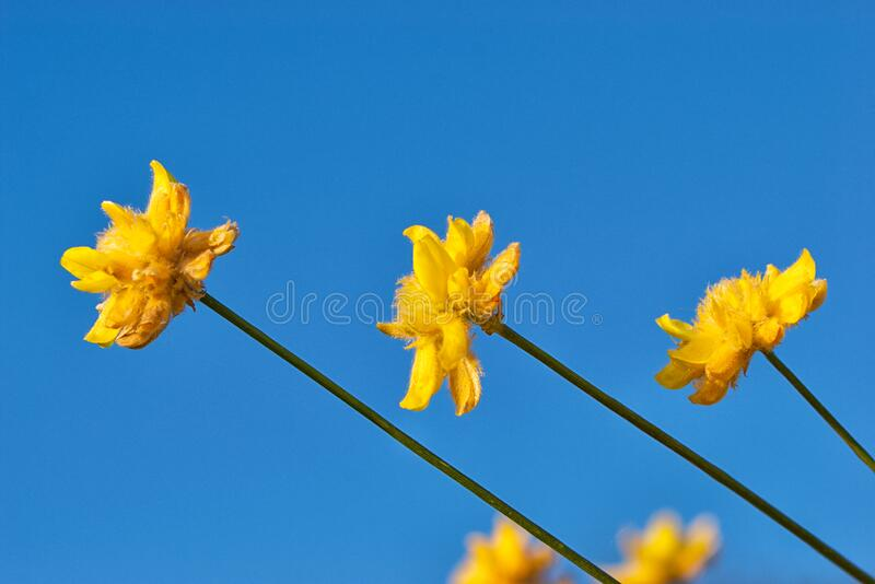 Yellow flower buds of Anthyllis Vulneria, contrast with a beautiful clear blue sky. royalty free stock photos
