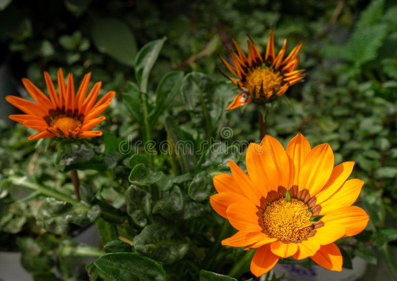 Three yellow flowers on a green background royalty free stock images