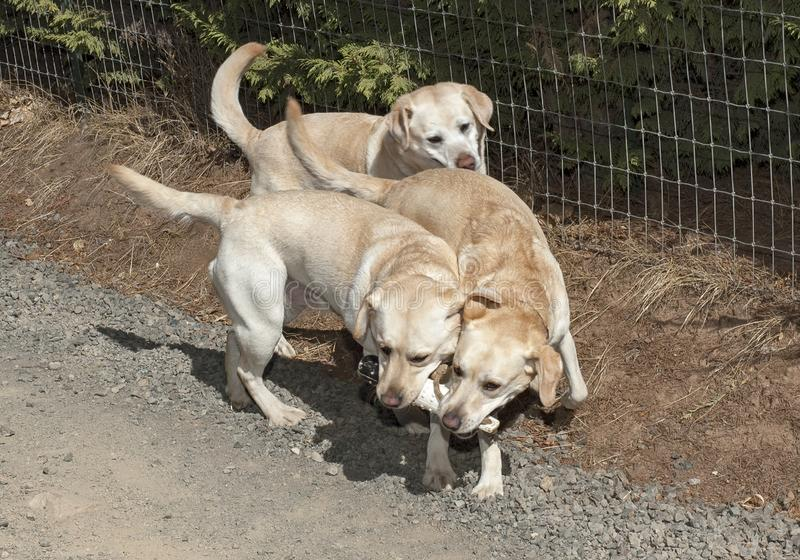 Three Happy Yellow Labs Playing with a Retrieving Toy royalty free stock image
