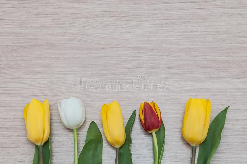 Three yellow, one white and one red tulip lie in a row on a wood. stock images
