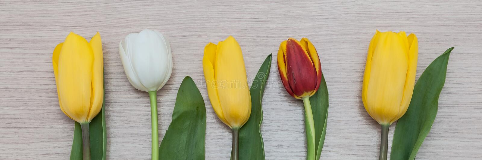 Three yellow, one white and one red tulip in a row on a background of wood. stock photo